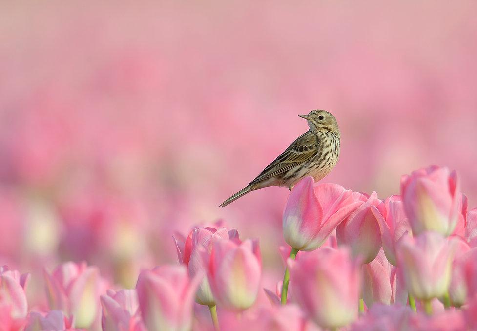 Vogelfotografie Graspieper.
