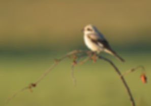Kafue NP, Lesser Shrike.