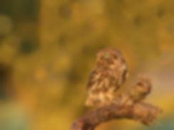 Steenuil met gevangen vlinder.