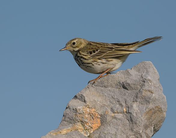 Vogelfotografie Texel.  Graspieper