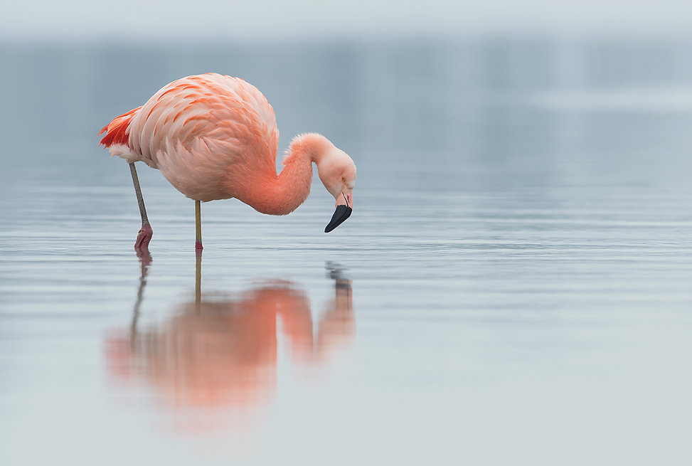 Vogelfotografie Chileense Flamingo.