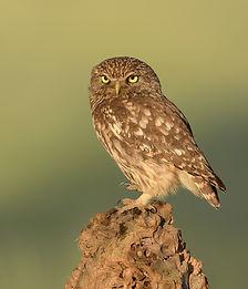 Vogelfotografie, Steenuil