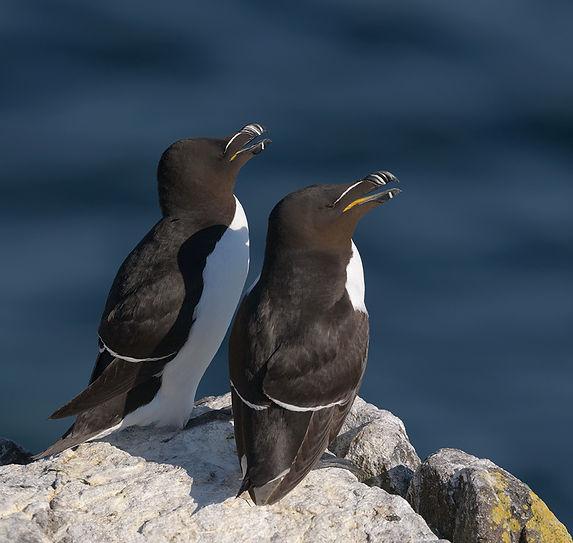 Vogelfotografie Isle of May, Alk.