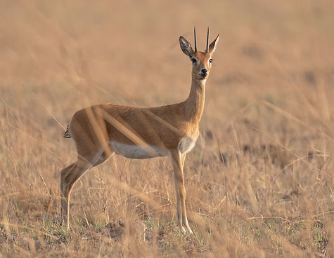 Oribi antilope.