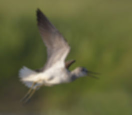 Vluchtfoto Groenpootruiter.
