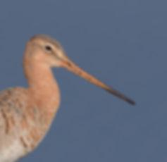 Vogelfotografie, Grutto