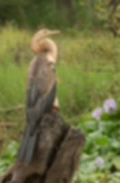 Afrikaanse-Slangehalsvogel