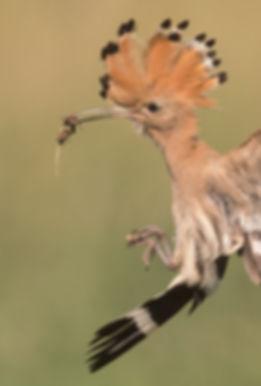 Vogelfotografie Hongarije, Hop.