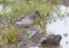 De zeldzame Breedbekstrandloper gefotografeerd in het Lauwersmeer.
