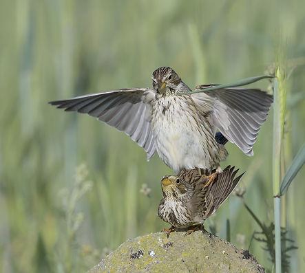 Vogelfotografie Toledo, Spanje, Grauwe Gors.