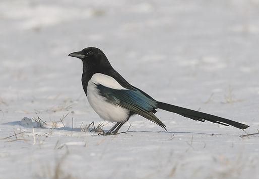 Vogelfotografie Polen, Ekster