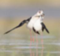 Vogelfotografie Toledo, Spanje,  Steltkluut.