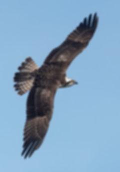 Vogelfotografie Bird in flight Visarend.