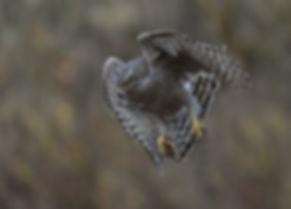 Vogelfotografie Bird in flight Havik.