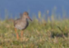 Vogelfotografie, Tureluur