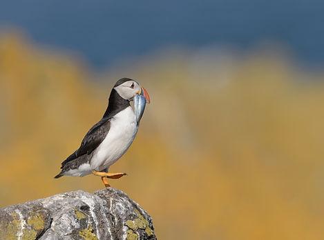 Papegaaiduiker, Schotland.