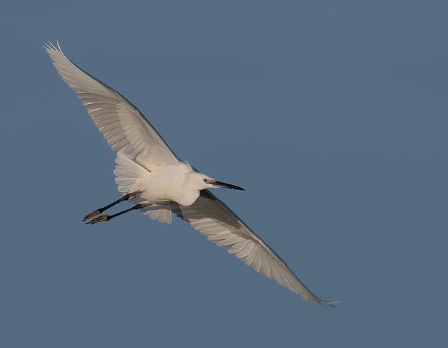 Vogelfotografie Bird in flight Kleine Zilverreiger.