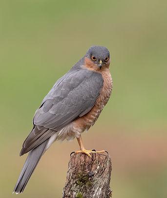 Vogelfotografie, Sperwer, Schotland