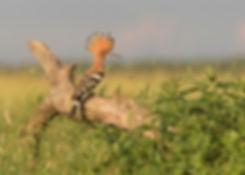 Vogelfotografie Hop.