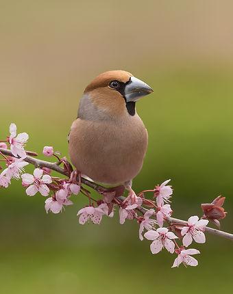 Vogelfotografie, Appelvink