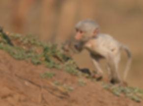 Yellow Baboon (Gele Baviaan)