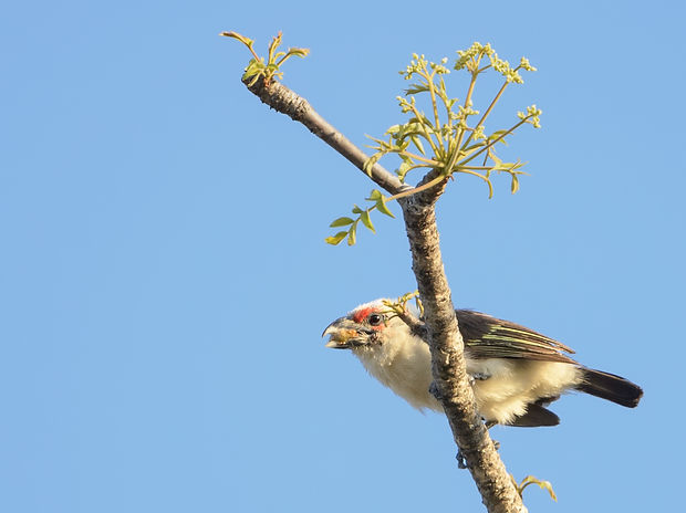 Vogelfotografie Witkopbaardvogel.