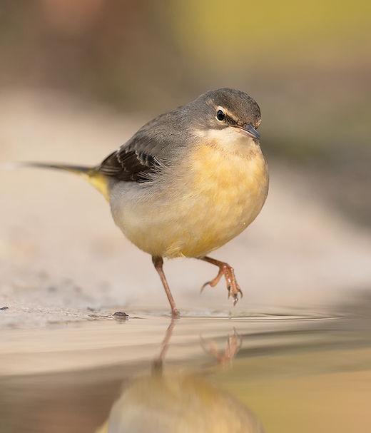 Vogelfotografie Grote Gele Kwikstaart.