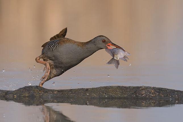 Vogelfotografie, Hongarije,  Waterral, Water rail.
