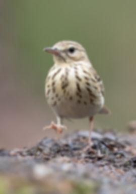 Vogelfotografie, Boompieper