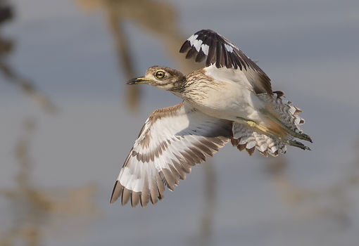 Water Thick-Knee (Watergriel)