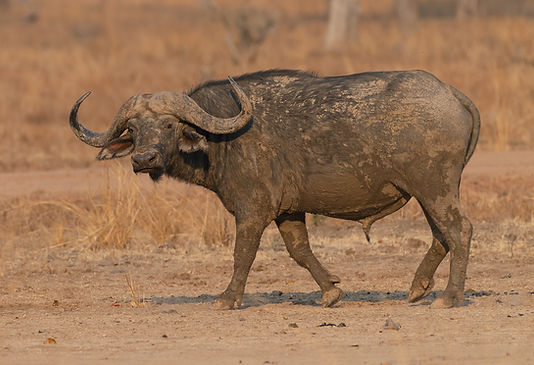 Buffel_DSC0053.jpgSavanna Buffalo (Savanna Buffel)
