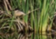Vogelfotografie Lesbos,  Kwak.