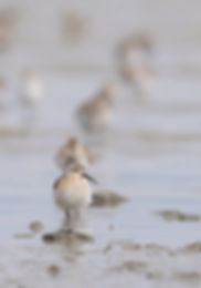 Krombekstrandloper gefotografeerd bij Waddenzee