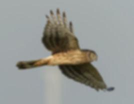 Vogelfotografie Bird in fligt Blauwe Kiekendief.