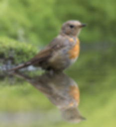 Vogelfotografie, juveniel Roodborst
