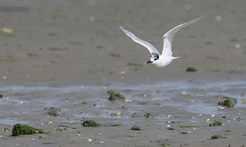 Vogelfotografie, Grote Stern, Texel.