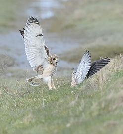 Vogelfotografie, Velduil Torenvalk