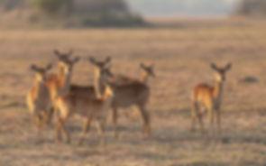 Africa, Zambia, Puku alert