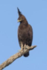 Long-Crested-Eagle_DSC0653.jpgZwarte Kuifarend gefotografeerd in Zambia