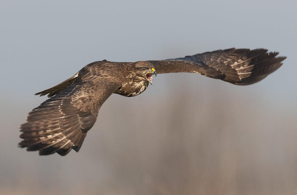 Vogelfotografie, Hongarije,  Buizerd.
