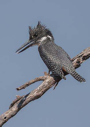 Giant Kingfisher (Afrikaanse Reuzenijsvogel)