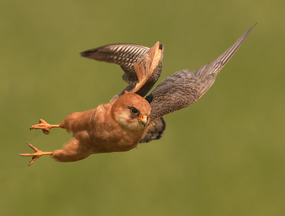 Vogelfotografie Roodpootvalk.