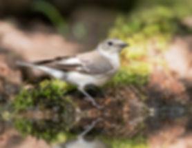 Vogelfotografie Hongarije, Withalsvliegenvanger.
