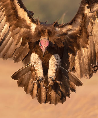 Hooded Vulture (Kapgier)