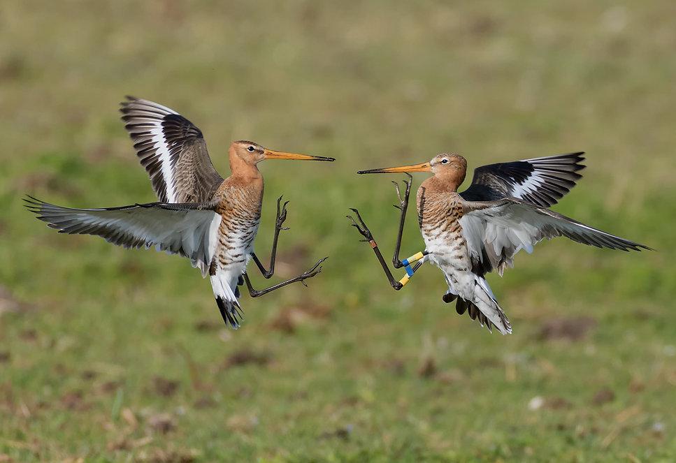 Vogelfotografie, Grutto.