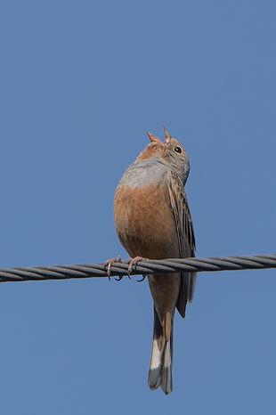 Vogelfotografie Lesbos, Ortolaan.