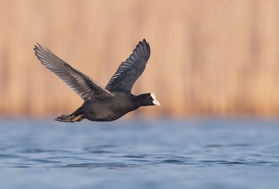 Vogelfotografie, Meerkoet.