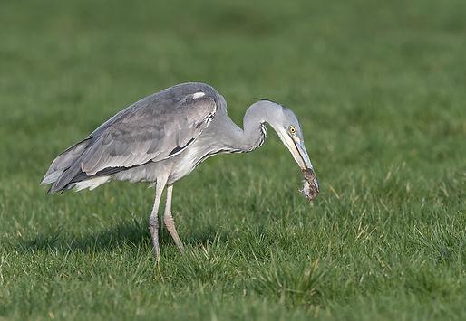 Vogelfotografie Blauwe reiger.