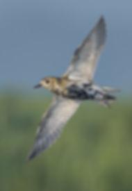 Vogelfotografie Bird in flight Goudplevier.