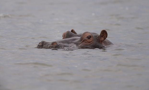 Kafue NP, Hippo.